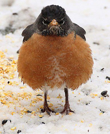 """Where's the MEAT?"" ...I think the reason this Robin is looking a bit grumpy is all the corn/seeds around his feet is not what they eat - Robin's are meat eaters - they want worms and bugs or at least a little suet - Michigan State Bird the robin - I love these big orange breasted birds, they always announce the arrival of Spring by returning after migrating to the South for Winter... and now that I'm in the South, I get to see them in the Winter too...:"