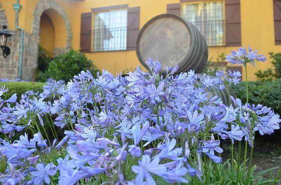 Blooms in Napa Valley, California