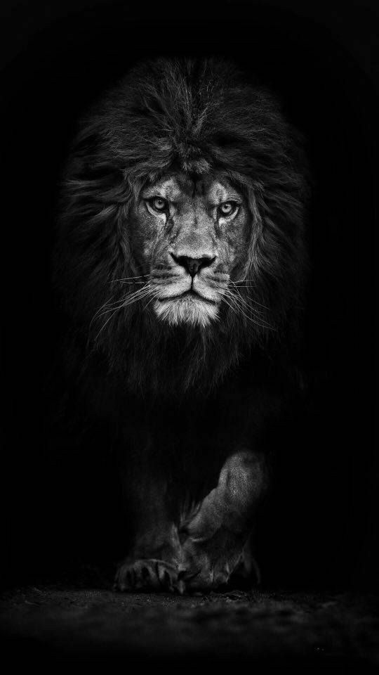 Loading Lion Wallpaper Black And White Lion Lion Photography Best of black wallpaper for iphone lion