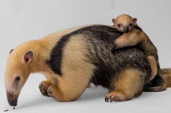 Baby Anteater Born at Staten Island Zoo