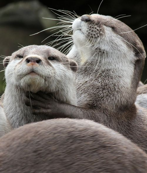 otter love facts relationship