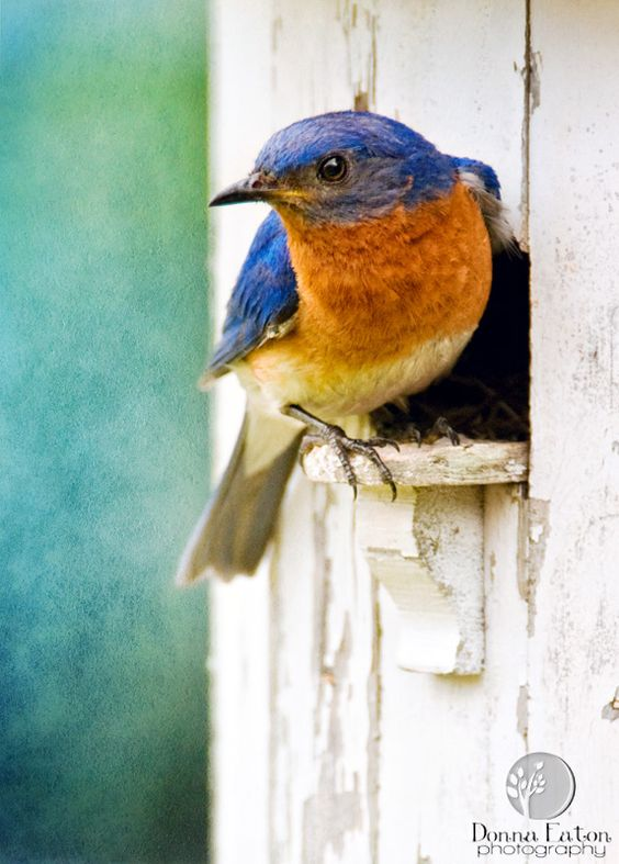 Bluebird - this bluebird photo is not mine but it reminds that our farm bluebirds will arrive soon -time to clean out the nesting boxes on our farm bluebird trail - we have 9 houses along the edge of the farm woods - the bluebirds will be here next week around May 15th - I have to get to work !