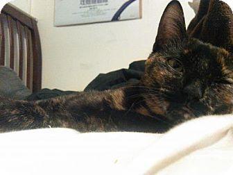 Philadelphia, PA - Bengal. Meet Haumea, a cat for adoption. http://www.adoptapet.com/pet/14980379-philadelphia-pennsylvania-cat