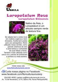 Loropetalum rosa, Loropetalum chinensis.