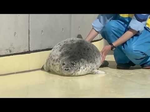 Lazy Seal La Jolla Ca Critter Animals Walrus