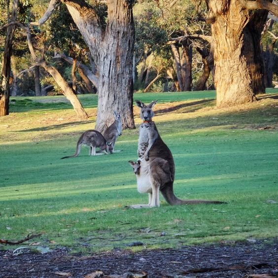 The iconic @angleseagolf .. home to a few hundred of these eastern grey kangaroos   #lovewhereyoulive #anglesea #greatoceanroad #seegor #golf #gardening #green #landscape #nature #wildlife #australia #downunder by surfcoastgardening