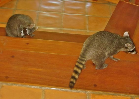Raccoons in the lobby at Capitan Suizo, Tamarindo  Photo by Susan Michael