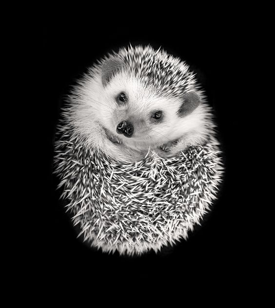 A very cute #hedgehog curled up and cuddly, though don't cuddle! Photo by Tim Booth.