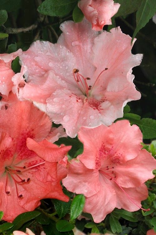 Buy Hilda Niblett Azalea Plants Free Shipping 1 Gallon Pot Shrubs For Sale From Wilson Bros Gardens Online Azaleas Shrubs For Sale Trees To Plant