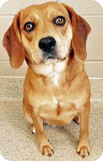 Beagle perro de la mezcla para su adopción en Shorewood, Illinois - Lucille
