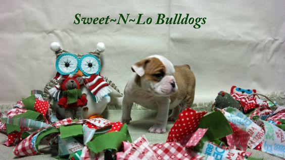 Akc English Bulldog Puppies For Sale Nashville Tn Clarksville Tn Tennessee Akc Stud Service Bulldog Stud Service Breeding Puppy Adoption Puppies Bulldog