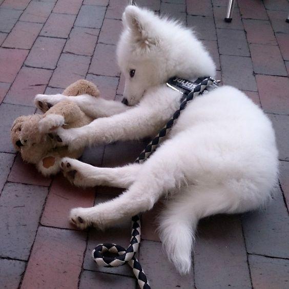 Samojede Pascha  Mein Kuscheltier, das muss ich immer dabei haben.       Mehr lesen: http://d2l.in/7j  dogs2love - Gassi gehen zum Verlieben. Partnerbörse für alle, die Hunde lieben.  Bild, Dating, Foto, Hund, Single
