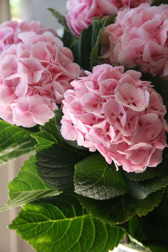 #Hortencia #rosa. #Flores: