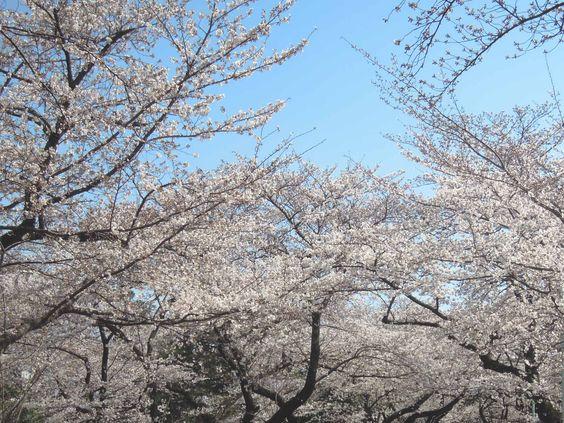 2012年桜お花見 Cherry tree