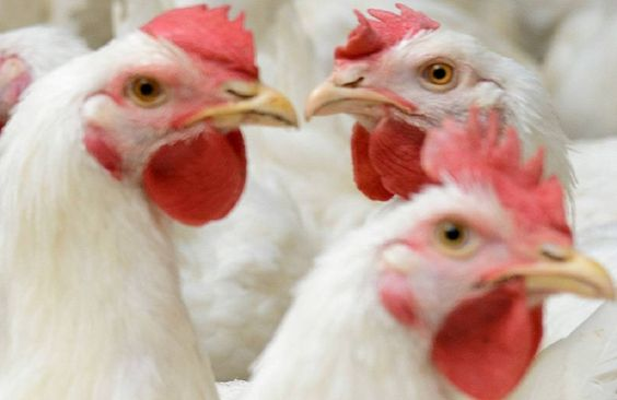 Changes in Zimbabwe poultry industry harm feed sector - http://zimbabwe-consolidated-news.com/2016/11/18/changes-in-zimbabwe-poultry-industry-harm-feed-sector/