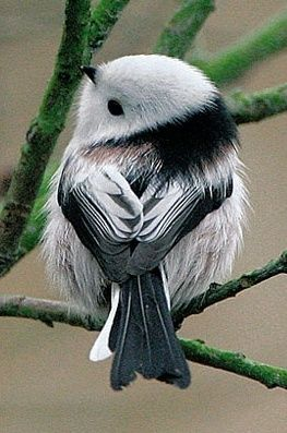 Codibugnolo - one of the world's cutest birds!: