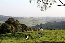 Image result for cows in paddock sunset