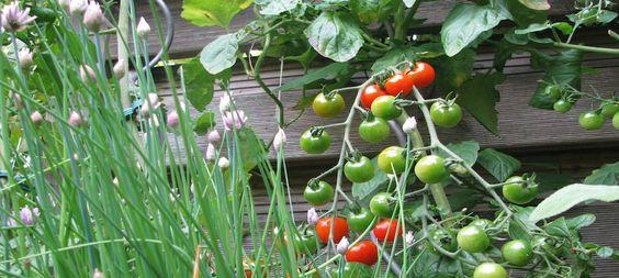 In dieser Tabelle findet Ihr eine Übersicht hinsichtlich: Gemüse, Kräuter, Lichtkeimer, Dunkelkeimer, Pflanzabstand, gute, schlechte Nachbarn und Standort.