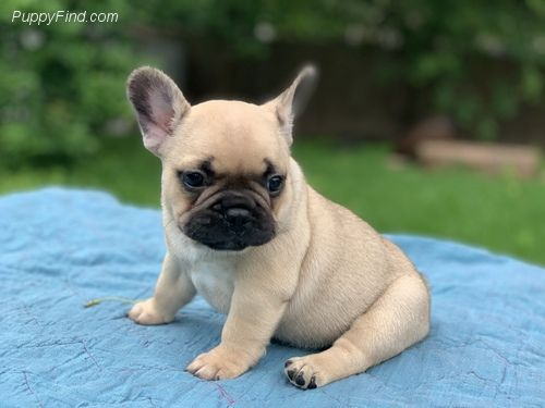 Puppyfind Com Augustridgefrenchies Com Frenchie Frenchbulldog