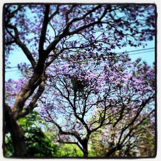 Jacarandá ... Purple... Ciudad de México