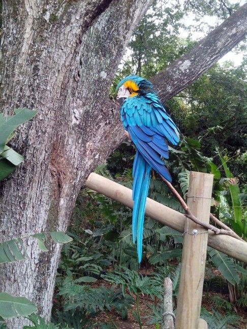 Blue guacamaya bird