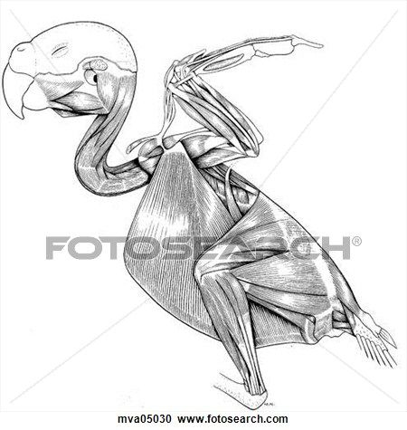 Bird Muscle Diagrams - Block And Schematic Diagrams •