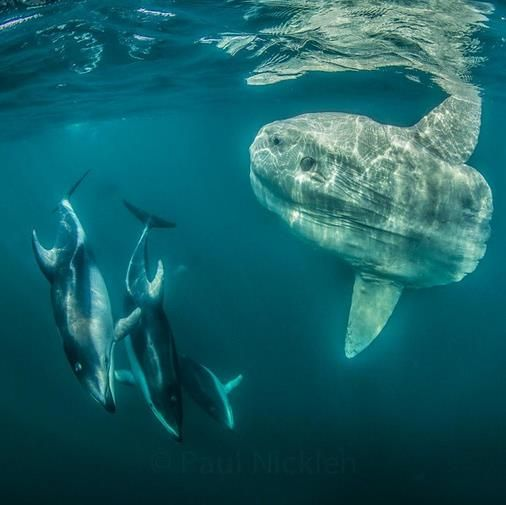 The large Mola mola dwarfs the Pacific White-sided Dolphins