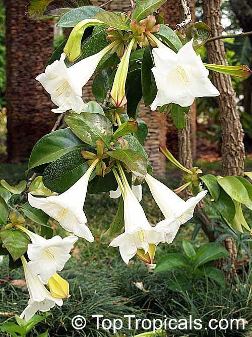 Portlandia grandiflora bell flower glorious flower of cuba white portlandia grandiflora bell flower glorious flower of cuba white horse flower tree lily growing perfumed garden pinterest mightylinksfo