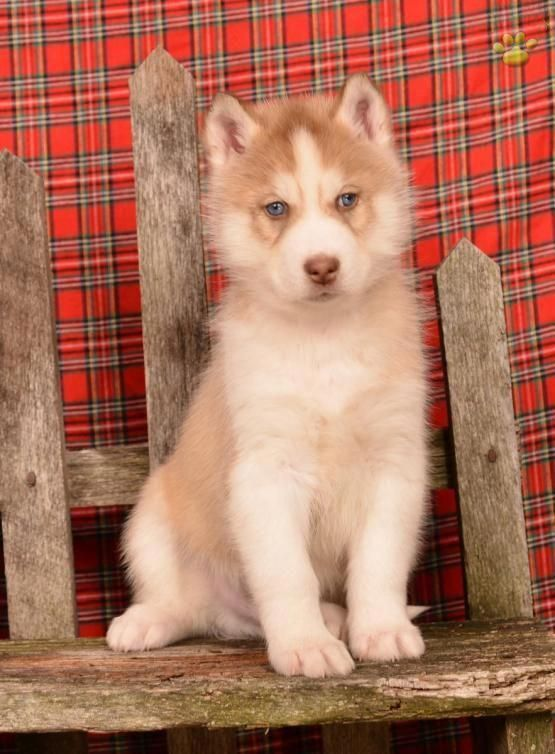 Athena Husky Puppies For Sale Puppies Siberian Husky
