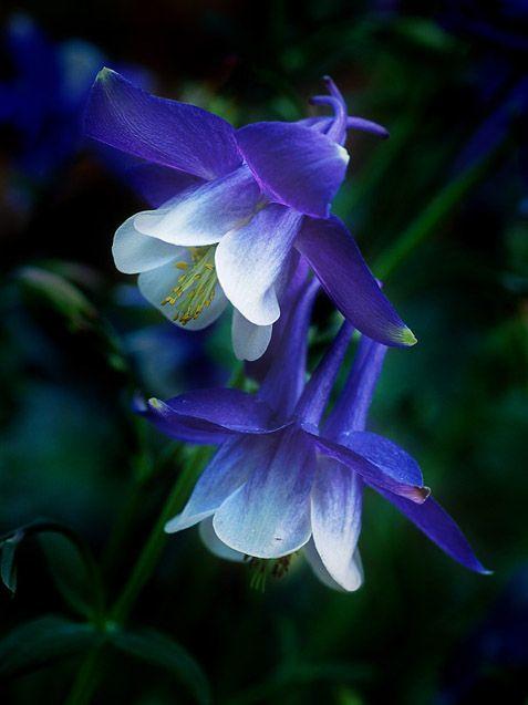 Beautiful Blue Columbine <3