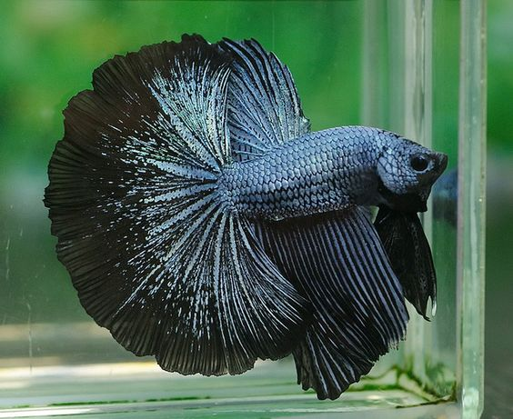 Steel blue and betta on pinterest for Biggest betta fish