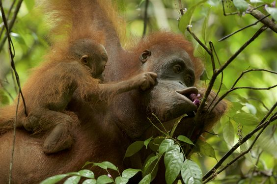 Plight of the Orangutan: Inside the Wildlife Photographer of the Year winning photo essay