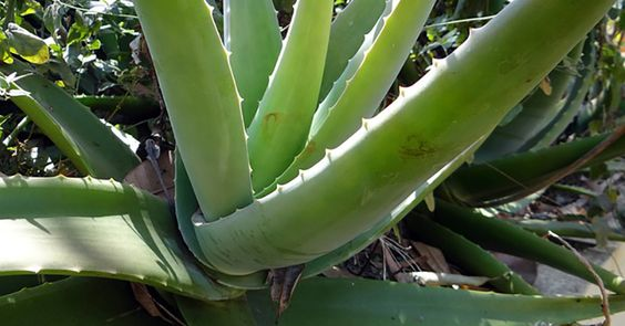 Aloe Vera to treat eczema, psoriasis, dermatitis and other skin allergies: