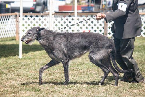 Irish Wolfhound Tumblr