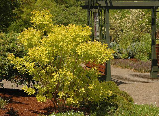 Golden smokebush! (Cotinus 'Ancot' aka Golden Spirit)