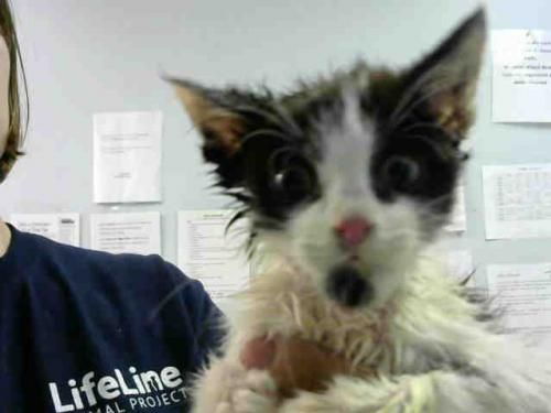 Sweet Little Wolfie Needs Rescue Asap He Is A Kitten And Is