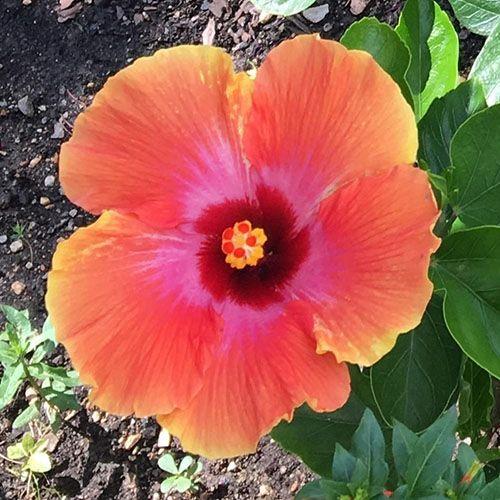 37 Of The Best Hibiscus Varieties Gardener S Path In 2020 Flowering Shrubs Growing Hibiscus Hibiscus Bush