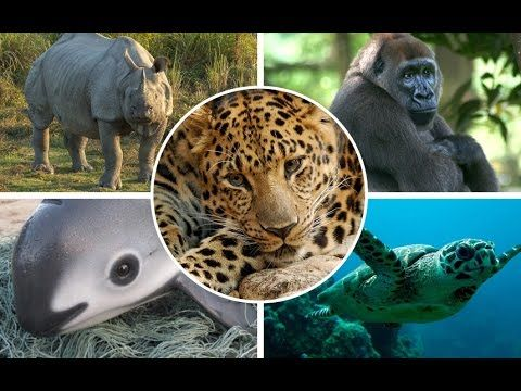 Top 5 World's Most Endangered Animals | Top 10's ...