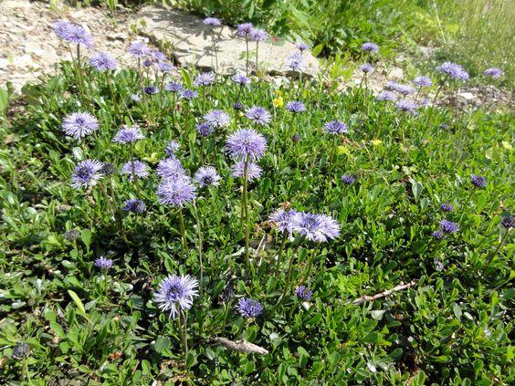 Die Herzblättrige Kugelblume (Globularia cordifolia) mit ihren immergrünen Blattteppichen und den himmelblauen Kugelblüten ist eine schöne Wahl für das Alpinum.