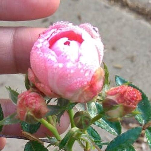 Pin Di Bunga Mawar