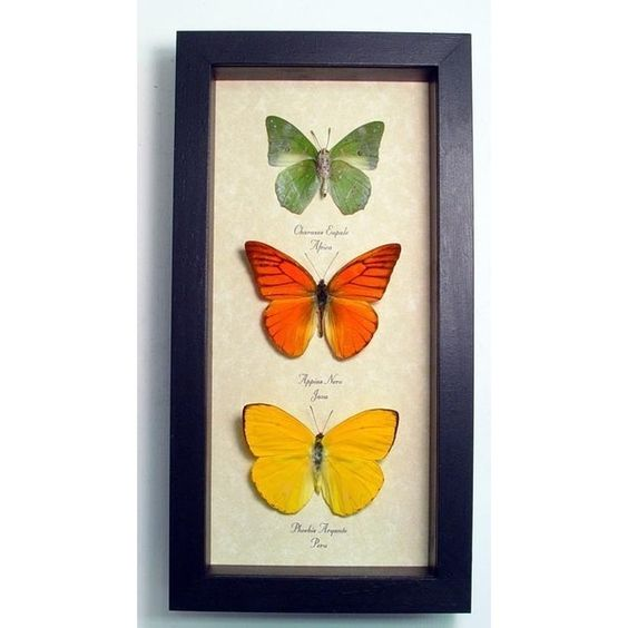 Real Framed Butterfly Citrus Collection Shadowbox Display   7897 (105 CAD) ❤ liked on Polyvore featuring home, home decor, wall art, fillers, butterflies, butterfly tree, lime green home decor, butterfly framed wall art, citrus trees and tree wall art
