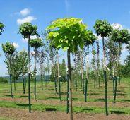 Liriodendron tulipifera 'Edward Gursztyn' - Kugel-Tulpenbaum - www.gruenplant.de