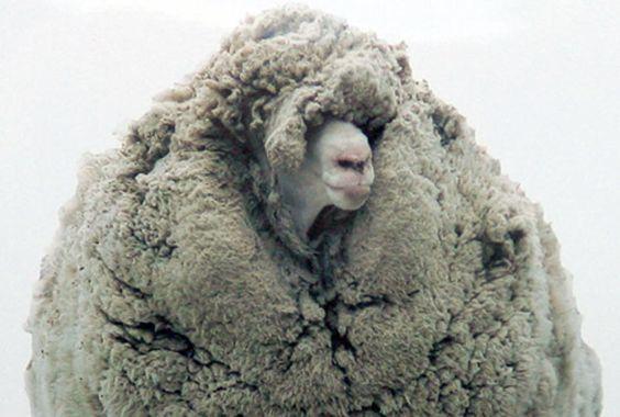 Enormous Rogue Sheep Found in Cave: Fluffy Sheep, Sheep Just, Shrek We Ll, Long Shrek, Rogue Sheep, Shrek The Sheep, Aanschouw Shrek, Animal Unconditional