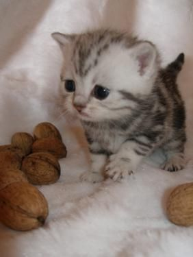 kitten with walnuts still in shell by KateRobin, via Flickr