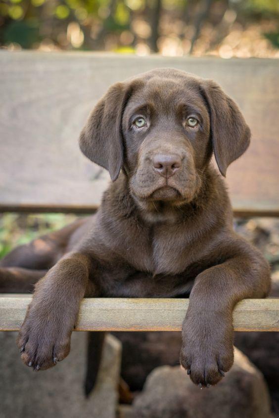 Chocolate Labrador In 2020 Chocolate Labrador Retriever Labrador Retriever Labrador Retriever Funny