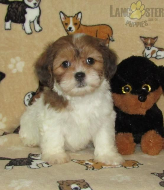 Starr Maltipoo Puppy For Sale In Waverly Ny In 2020 Maltipoo