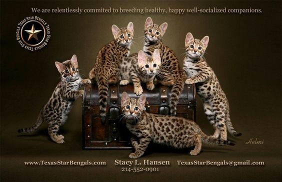 bengal cats - beautiful!