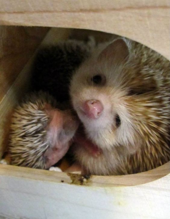 new born hedgie with mom { hedgie / hedghog/ baby/ animal}: