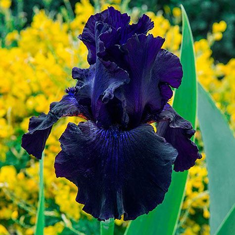 Pin By Kore Sy Bazaldua On Garden Design Planting Bulbs Part Shade Flowers Bearded Iris