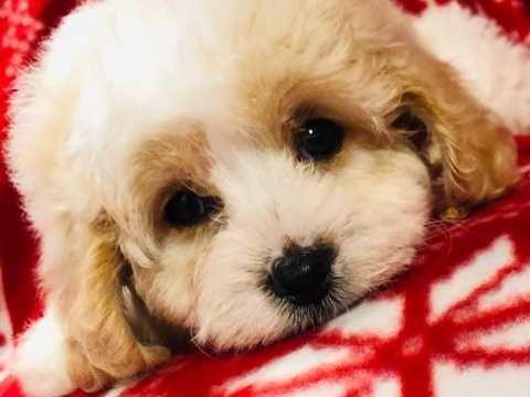 Cavapoo Puppys Stunning Cute Tonbridge Kent Pets4homes Cavapoo Puppies Red Teddy Bear